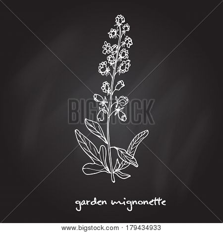 Reseda or Mignonette, aromatic and medicinal plant, vector illustration