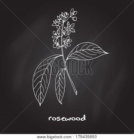 Aniba rosaeodora, or Brazilian rosewood, or rosewoodtree. Hand drawn botanical vector illustration