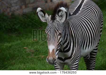 Terrific bold stripes on this zebra standing in a field.