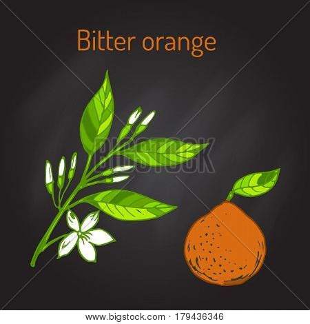 Bitter orange, Seville orange, sour orange, bigarade orange, or marmalade orange, twig with flowers. Vector illustration