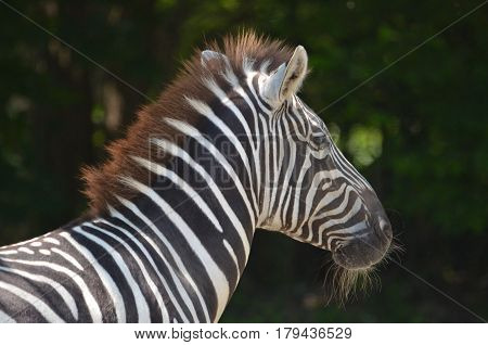 Zebra with long whiskers on his chin.