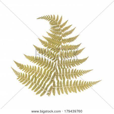 Pressed Dried Fern Leaf