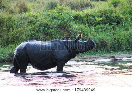 A rhino takes a bath in chitwan national park