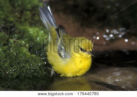 A Blue-winged Warbler, Vermivora cyanoptera looks at reflection in a shallow forest pond