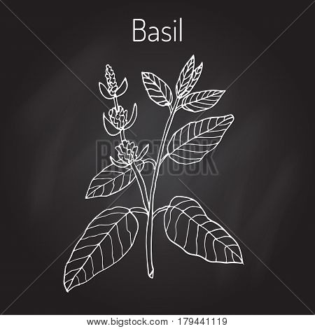 Basil, Thai basil, or sweet basil, culinary and aromatic herb. Vector illustration