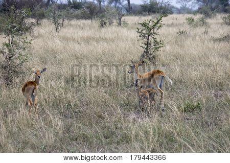 Kob Females And Offspring, Queen Elizabeth National Park, Uganda