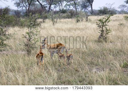 Kob Female Antelopes And Offspring, Queen Elizabeth National Park, Uganda