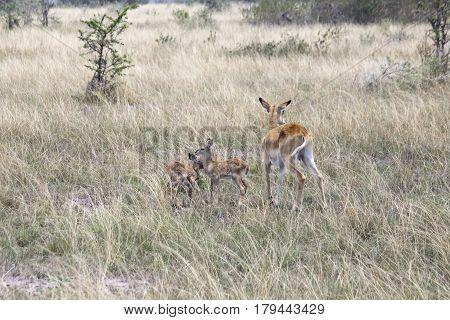 Kob Family, Queen Elizabeth National Park, Uganda
