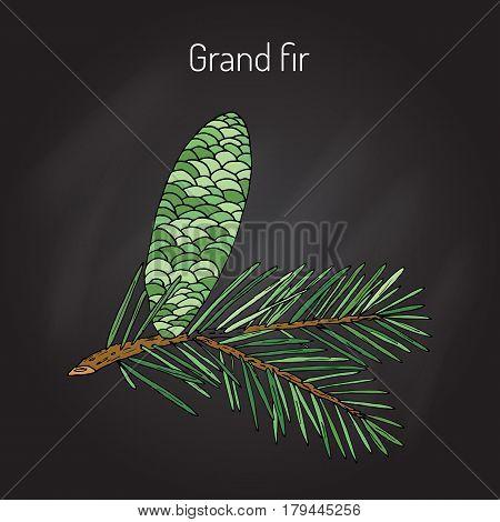 Great silver fir, or grand fir abies grandis . Vector illustration