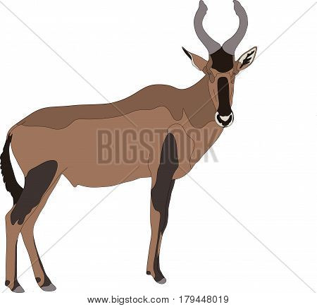 Portrait of a red hartebeest antelope, hand drawn vector illustration isolated on white background