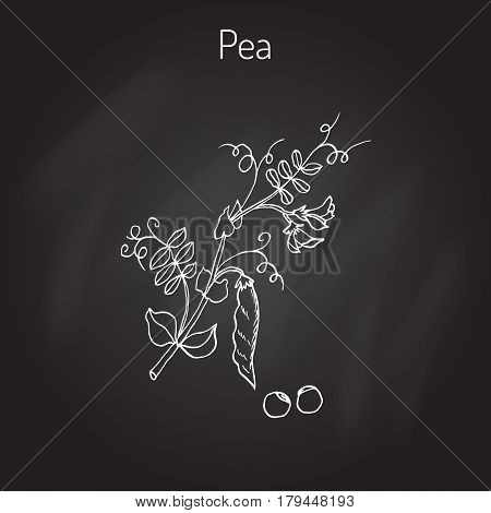 Fresh green peas. Vector illustration of legumes