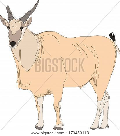 Portrait of a common eland antelope, standing, hand drawn vector illustration isolated on white background