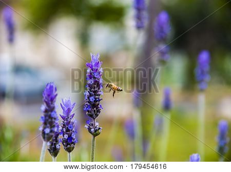 Lavender Field gardening plant bunch floral beautiful
