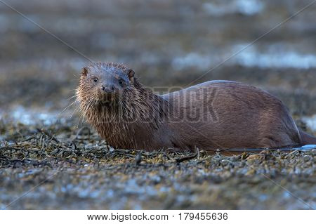 European Otter (Lutra lutra) in seaweed at the edge of a loch