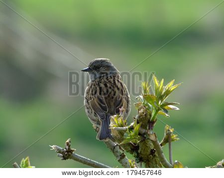Hedge sparrow perched on top of a hedge