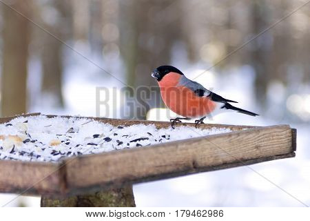 Portrait of Eurasian Bullfinch (Pyrrhula pyrrhula) sitting in the bird feeder in winter, Northern Russia