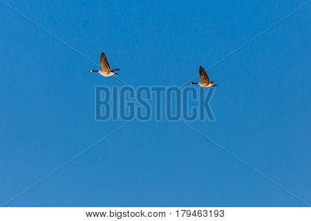 Two Canadian Geese (branta canadensis) flying through a blue sky in Wisconsin.