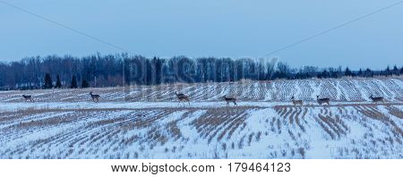 Herd of Wisconsin White-taield deer (odocoileus virginianus) traveling through a farmers field in early March.