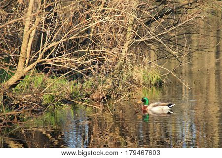 colorful male duck swimming in the lake near the bank covered with bushes