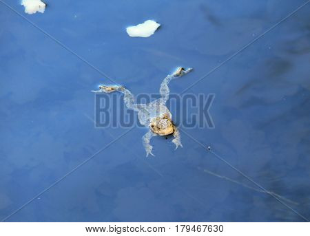 common toad (Bufo bufo) swimming in the water