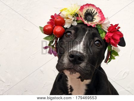 Portrait of four month old Staffordshire terrier puppy with floral head wreath in Frida Kahlo style.