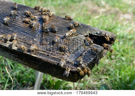 Bees drink water. Spring. Animals drinking water