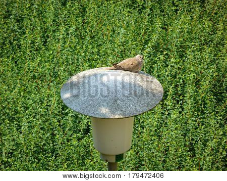 Photo of the Eurasian collared dove on the street lamp