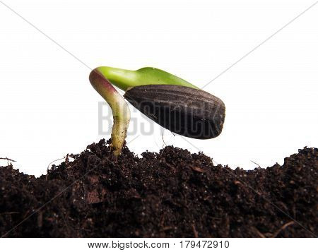 Sunflower seed germinated in the ground on a white background