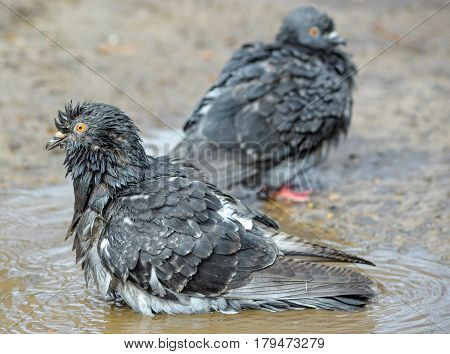 Two funny pigeons have bath in puddle. Grey urban birds bathing in a puddle in the spring on the city road