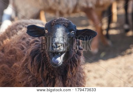 A Black Sheep Shows The Tongue In A Paddock For The Animals On The Farm.