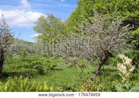 An old untrodden garden of olive trees overgrown with grass