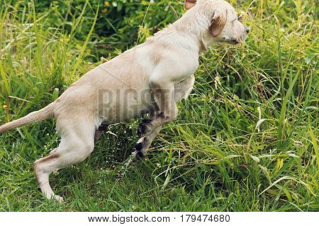 A cute and active Labrador Retriever puppy leaps excitedly through long green grass.