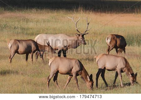 Majestic Bull Elk and cows (Cervus canadensis) in in Yellowstone National Park