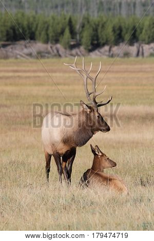 Majestic Bull Elk and cow (Cervus canadensis) in in Yellowstone National Park