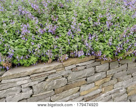 Fieldstone Garden Wall and Sage The sage grows over the fieldstone wall in the garden.