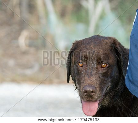 A front image of a chocolate colored Labrador Retriever with his tongue hanging out.