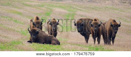 Group of European Bison bulls resting in springtime, Podlasie, Poland, Europe