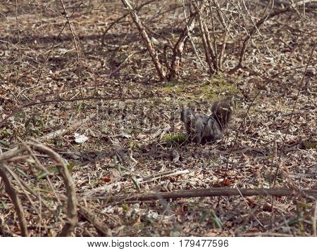A black squirrel in the woods at the part