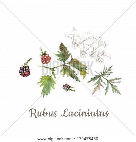 Botanical watercolor sketch of red and violet blackberries isolated on white background with description. Could be used as decoration for web design cosmetics design package textile