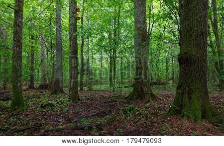 Old oaks moss wrapped in fall among juvenile stand, Bialowieza Forest, Poland, Europe