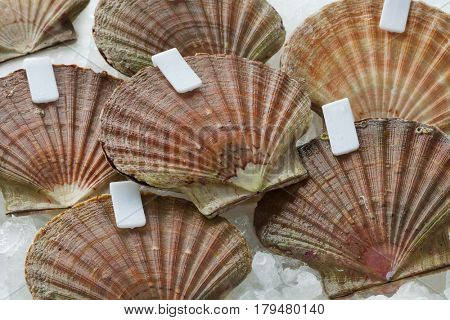 Fresh raw scallops on ice in the shell with clips close up