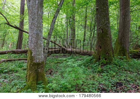 Old Hornbeam tree (Carpinus betulus) and broken trees around in deciduous stand, Bialowieza Forest, Poland, Europe