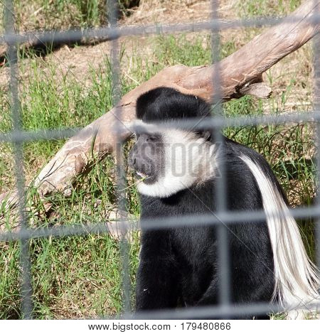Adult Black-and-White Colobus monkey quietly chewing grass stick behind safety grate