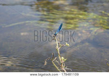 Blue Dragonfly (Calopteryx virgo) rest on some vegetation over water