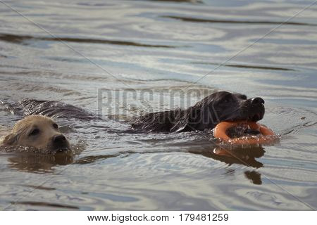 A puppy and dog race each other through the water the dog with an orange ring toy in his mouth.