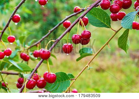 Ripe red cherries on the cherry tree in the orchard. Nature background