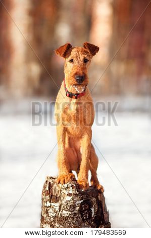 The Irish Terrier sits on a tree stump and looking at camera in winter