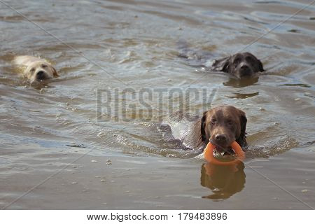 Three Labrador Retrievers play in the water with an orange ring toy two chasing the third dog who is holding the toy in his mouth.