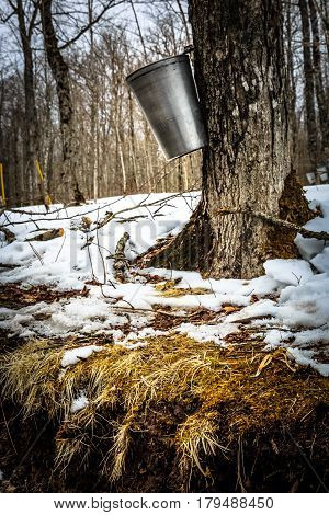 Maple syrup season in New Brunswick, Canada.