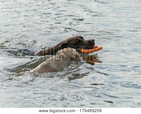 A chocolate adult Labrador Retriever and yellow puppy play with an orange toy in water.